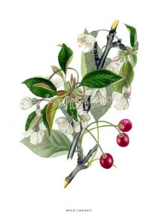 Wild Cherry by Rebecca Hey 1837